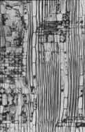 SAPOTACEAE Palaquium galactoxylum