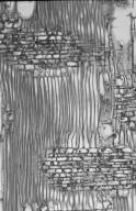 MALVACEAE DOMBEYOIDEAE Dombeya kirkii