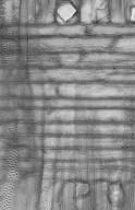 MALVACEAE HELICTEROIDEAE S. STR. Mansonia altissima