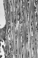 MALVACEAE DOMBEYOIDEAE Pterospermum javanicum