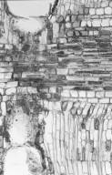 MALVACEAE STERCULIOIDEAE Sterculia shillinglawii