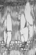 STYRACACEAE Styrax japonicus