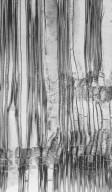PENTAPHYLACACEAE Eurya osimensis