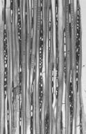 PENTAPHYLACACEAE Eurya tigang