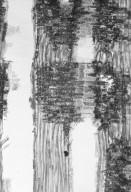 MALVACEAE BROWNLOWIOIDEAE Pentace laxiflora