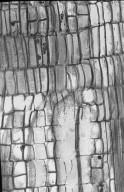 TETRAMERISTACEAE Tetramerista glabra
