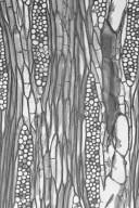 CANNABACEAE Celtis integrifolia