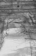 CANNABACEAE Gironniera subaequalis
