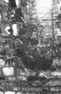 URTICACEAE Gyrotaenia microcarpa