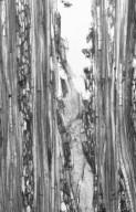 URTICACEAE Leucosyke australis