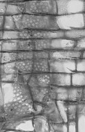 LAMIACEAE Gmelina leichhardtii