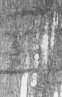ZYGOPHYLLACEAE Bulnesia arborea