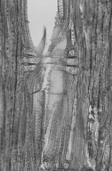ZYGOPHYLLACEAE Porlieria angustifolia