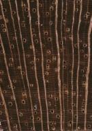 ANNONACEAE Guatteria punctata
