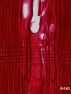 ANACARDIACEAE Cotinus obovatus
