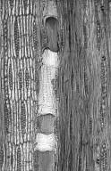 LEGUMINOSAE CAESALPINIOIDEAE Caesalpinia ferrea
