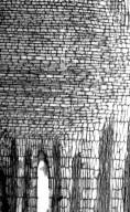 LEGUMINOSAE PAPILIONOIDEAE Erythrina caffra