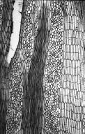 LEGUMINOSAE PAPILIONOIDEAE Erythrina polychaeta