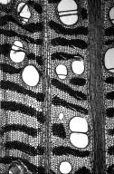 LEGUMINOSAE PAPILIONOIDEAE Erythrina subumbrans