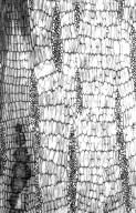 LEGUMINOSAE PAPILIONOIDEAE Erythrina velutina