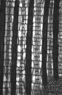 LEGUMINOSAE PAPILIONOIDEAE Erythrina verna