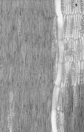 LEGUMINOSAE PAPILIONOIDEAE Holocalyx glaziovii