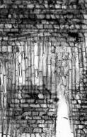 PHYLLANTHACEAE Glochidion obscurum