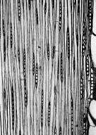 LEGUMINOSAE CAESALPINIOIDEAE Tachigali paniculata