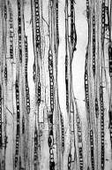 MYRTACEAE Tristaniopsis laurina