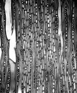 SAPOTACEAE Chrysophyllum lucentifolium