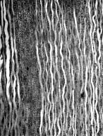 SAPOTACEAE Sideroxylon lanuginosum