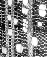 PHYLLANTHACEAE Protomegabaria stapfiana