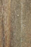 ANNONACEAE Xylopia aromatica