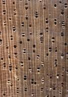 ANNONACEAE Xylopia cayennensis
