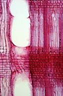 ANACARDIACEAE Rhus javanica roxburghii