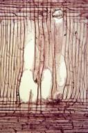 ARALIACEAE Dendropanax trifidus