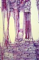 ARALIACEAE Hedera rhombea