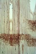 BETULACEAE Betula ermanii