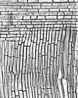 LAMIACEAE Clerodendrum trichotomum