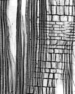 SYMPLOCACEAE Symplocos lancifolia