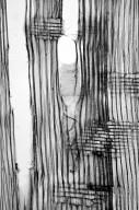 SAPINDACEAE Acer cissifolium