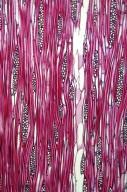BORAGINACEAE Ehretia ovalifolia