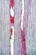 EUPHORBIACEAE Melanolepis multiglandulosa