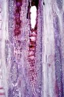 LEGUMINOSAE PAPILIONOIDEAE Wisteria brachybotrys