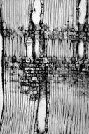 LAURACEAE Lindera triloba