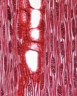 OLEACEAE Fraxinus platypoda