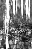 OLEACEAE Ligustrum obtusifolium