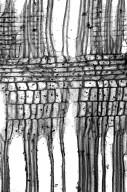 OLEACEAE Ligustrum ovalifolium pacificum