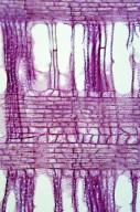 OLEACEAE Syringa reticulata