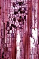 PHYLLANTHACEAE Antidesma japonicum